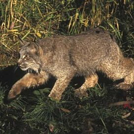 Montana judge orders wildlife managers to enlarge habitat protections for Canada lynx