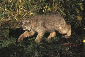 A Canada lynx is shown in this U.S. Fish and Wildlife Service handout photo.  REUTERS/Courtesy of U.S. Fish and Wildlife Service/Handout