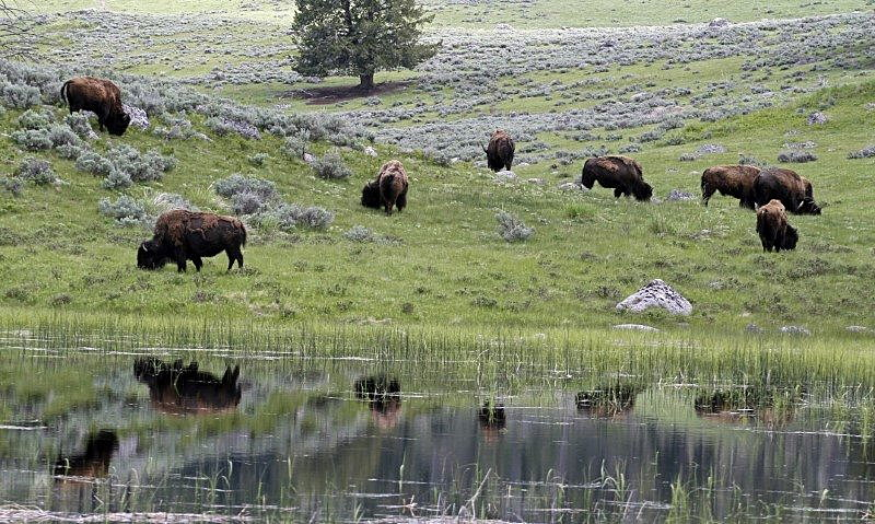 A herd of bison graze in Lamar Valley in Yellowstone National Park, Wyoming, June 20, 2011. On average over 3,000 bison live in the park. REUTERS/Jim Urquhart