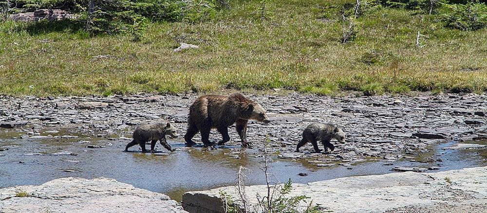 Black Bears - Great Smoky Mountains National Park (U.S ...