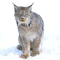 Feds reverse course, seek to remove lynx from endangered species protections