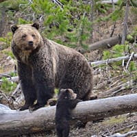 Missoula federal judge returns Yellowstone grizzlies to protected status