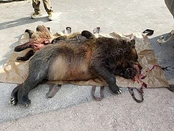 Grizzly Sow 2 Cubs Killed On Us 93 Third Cub Orphaned Missoula