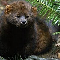 Judge voids denial of protected status for Pacific fisher