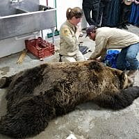 900-pound grizzly bear relocated after seeking refuge in garage outside Valier