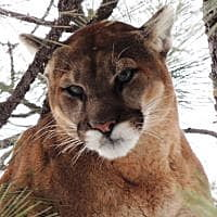 Montana FWP: Make mountain lion management areas huge to reflect cats' behavior