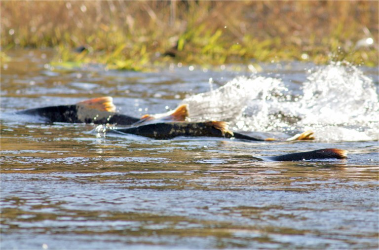 Dismal returns close Columbia River to salmon fishing ~ Missoula Current