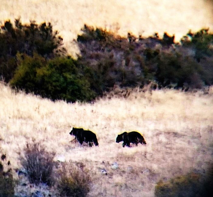 Orphaned grizzly cubs wander Mission Valley, unschooled in hibernation