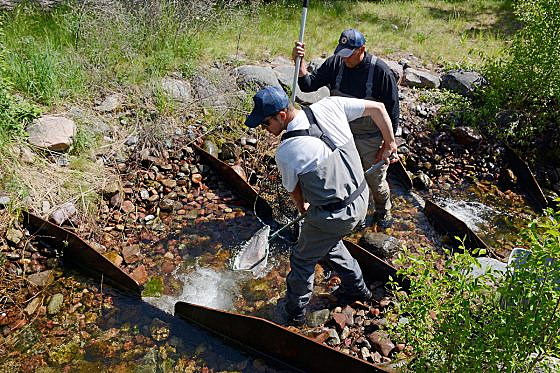FWP angers fly fishermen by stopping trout restoration