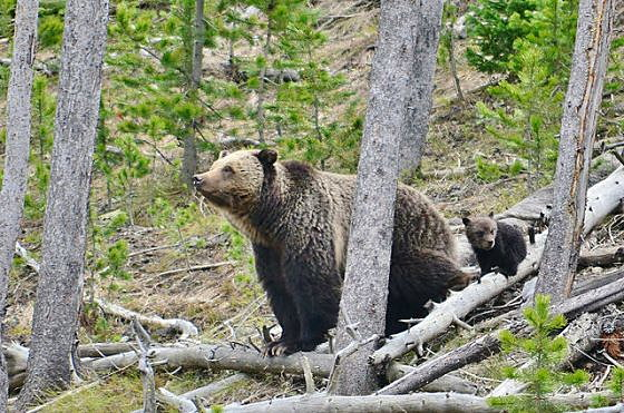 USFWS survey documents grizzly bears in Bitterroot headwaters